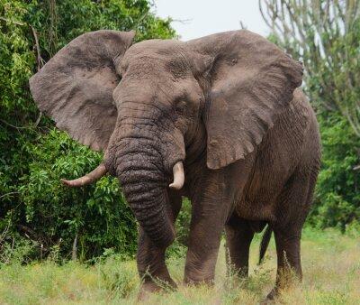 Canvas print Elephant in the savanna. Shooting from hot air balloon. Africa. Kenya. Tanzania. Serengeti. Maasai Mara. An excellent illustration.