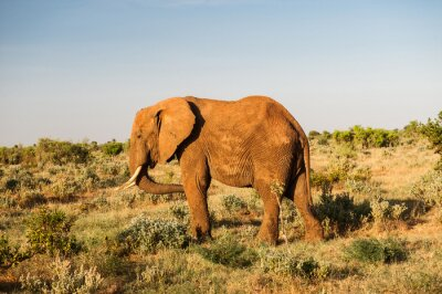 Canvas print Elephant in Tsavo East National Park, Kenya