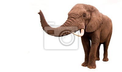 Canvas print Elephant Isolated
