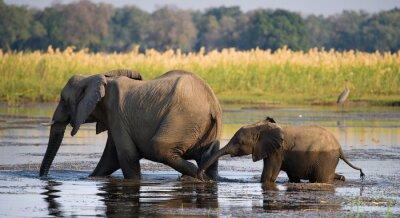Canvas print Elephant with baby crossing the river Zambezi.Zambia. Lower Zambezi National Park. Zambezi River. An excellent illustration.