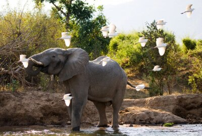 Canvas print Elephant with white herons. Zambia. Lower Zambezi National Park. Zambezi River. An excellent illustration.