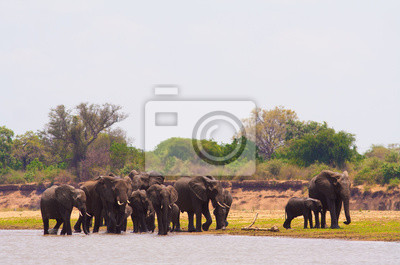 Canvas print Elephants drinking water at the waterhole