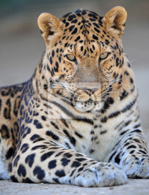 Canvas print endangered amur leopard looking proudly at camera