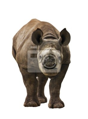 Canvas print Endangered Baby Black Rhinoceros Isolated