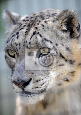 Canvas print endangered beautiful snow leopard close up