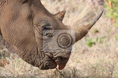 Canvas print Endangered black rhino head in close profile