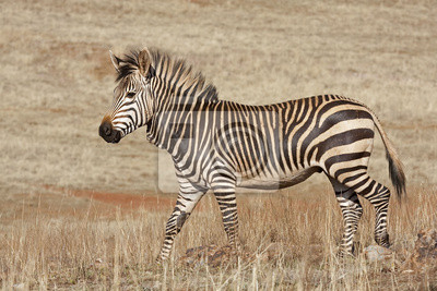 Canvas print Endangered Cape Mountain Zebra; Equus zebra