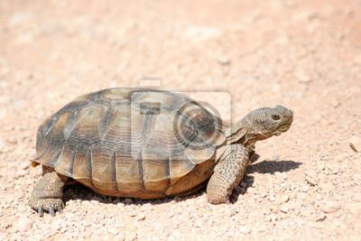 Canvas print endangered desert turtle wild animal