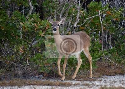 Canvas print endangered key deer