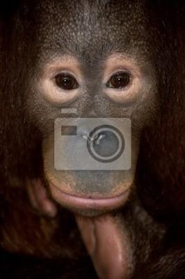 Canvas print endangered primate orangutan