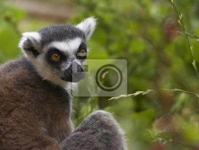 Canvas print endangered ringed-tailed lemur