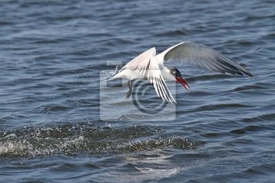 Canvas print Endangered Royal Tern (Sterna maxima)