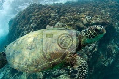 Canvas print endangered sea turtle