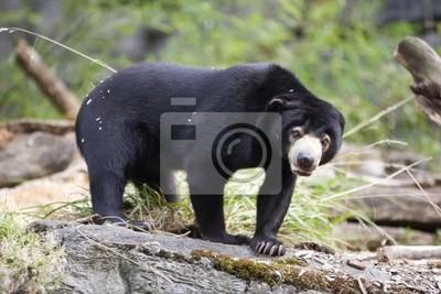 Canvas print Endangered Species Sun Bear