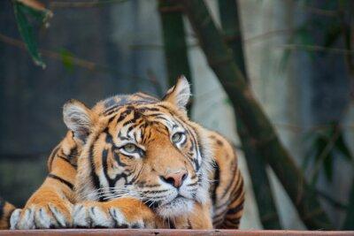 Canvas print Endangered Sumatran Tiger