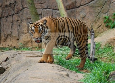 Canvas print endangered tiger