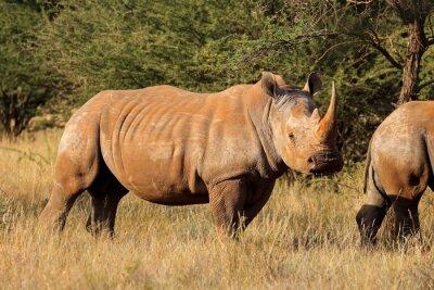 Endangered white rhinoceros (Ceratotherium simum) in natural habitat, South Africa.