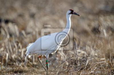 Canvas print Endangered whooping crane