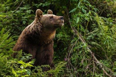 Canvas print Eurasian brown bear