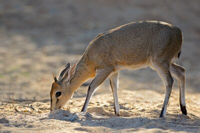 Feeding common duiker antelope (Sylvicapra grimmia), Kruger National Park, South Africa.