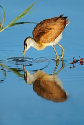 Female African jacana (Actophilornis africana) foraging in shallow water, South Africa.