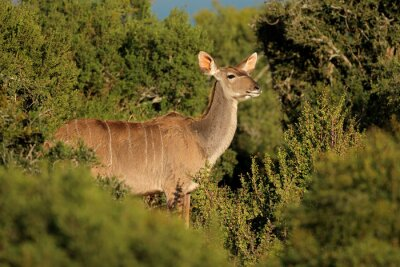 Female kudu antelope (Tragelaphus strepsiceros) in natural habitat, South Africa.
