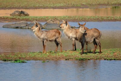 Canvas print Female waterbuck (Kobus ellipsiprymnus) in natural habitat, Kruger National Park, South Africa.