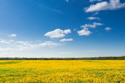 Canvas print Field of yellow dandelions against the blue sky.