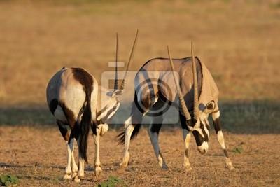 Canvas print Fighting gemsbok (Oryx gazella), Kalahari, South Africa