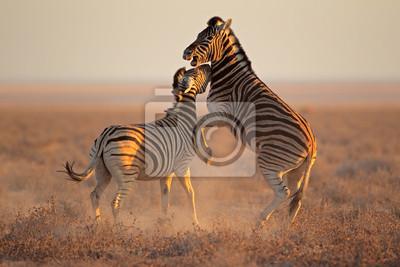 Fighting Zebras, Etosha National Park