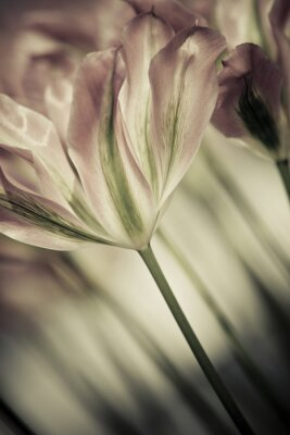 Canvas print Fine art of close-up Tulips, blurred and sharp