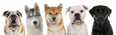Canvas print five purebred dogs