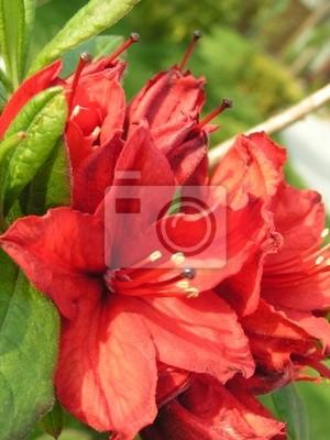 flower-rhodod.