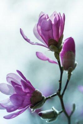 Canvas print Flowering pink magnolia