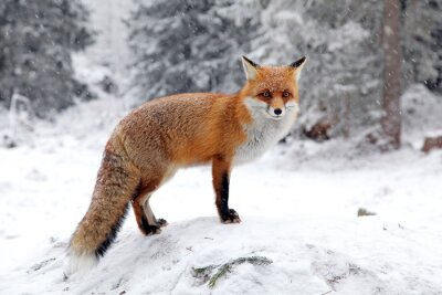 Canvas print Fox in forest at High Tatras, Slovakia