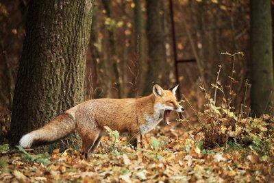 Canvas print Fox on autumn forest