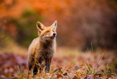 Canvas print Fox (Vulpes vulpes) in europe forest