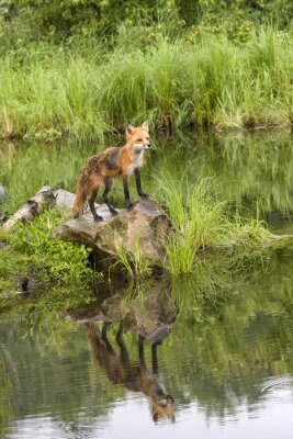 Canvas print Fox with Reflection in a Quiet Lake