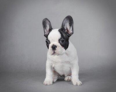 Canvas print French Bulldog puppy