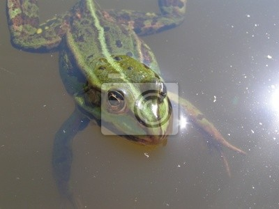 frog on the water