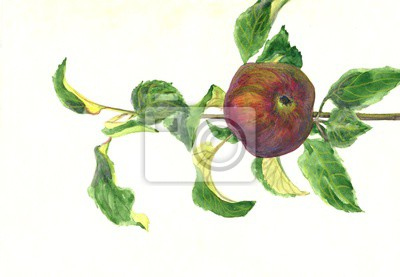 fruit is an Apple on a branch. Watercolor painting