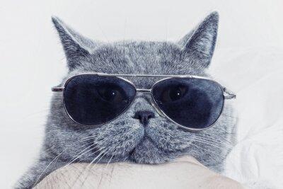 Canvas print Funny muzzle of gray cat in sunglasses