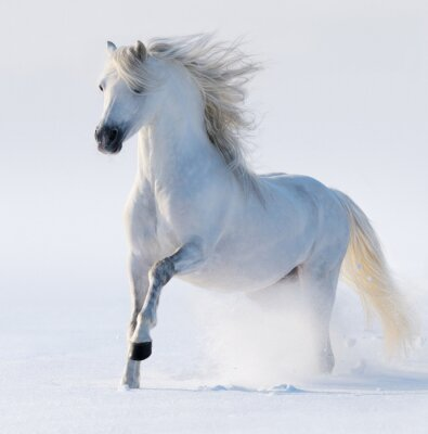 Canvas print Galloping snow-white horse