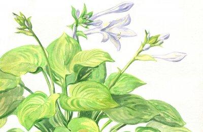 Garden flowering plant Hosta flowers. Watercolor painting