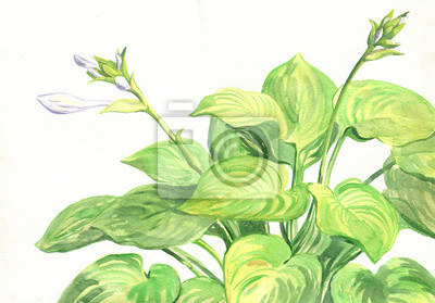 Garden flowers Hosta. Flowering plant. Watercolor painting
