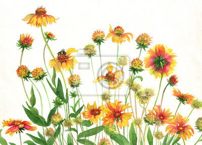 Garden flowers Rudbeckia. Watercolor painting