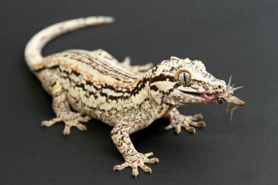 Canvas print Gargoyle Gecko eating