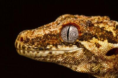 Canvas print Gargoyle Gecko (Rhacodactylus auriculatus) in profile