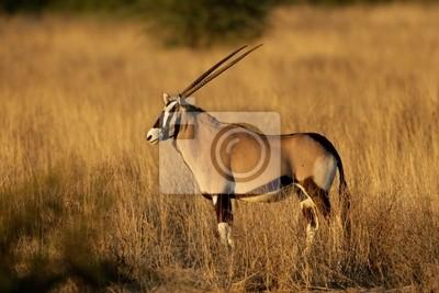 Gemsbok antelope (Oryx gazella)