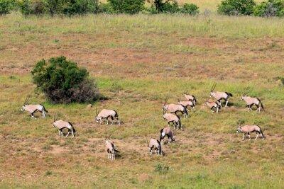 Gemsbok antelopes (Oryx gazella) in natural habitat, Mountain Zebra National Park, South Africa.